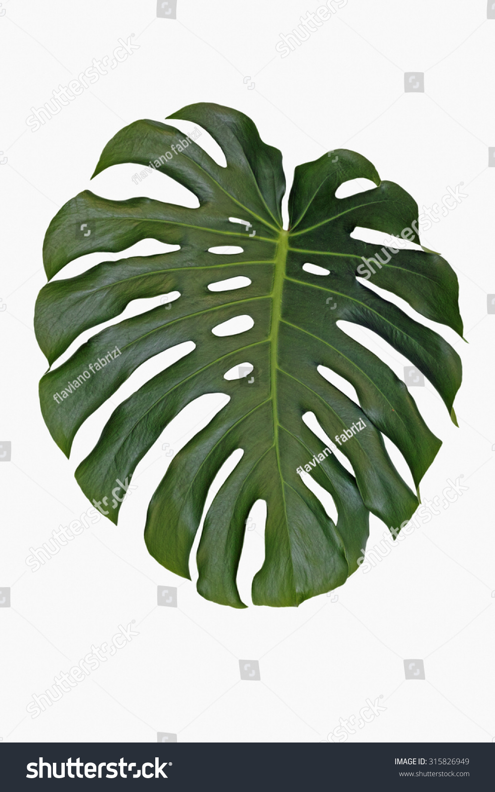 isolated leaf split leaf philodendron monstera stock photo 315826949 shutterstock. Black Bedroom Furniture Sets. Home Design Ideas