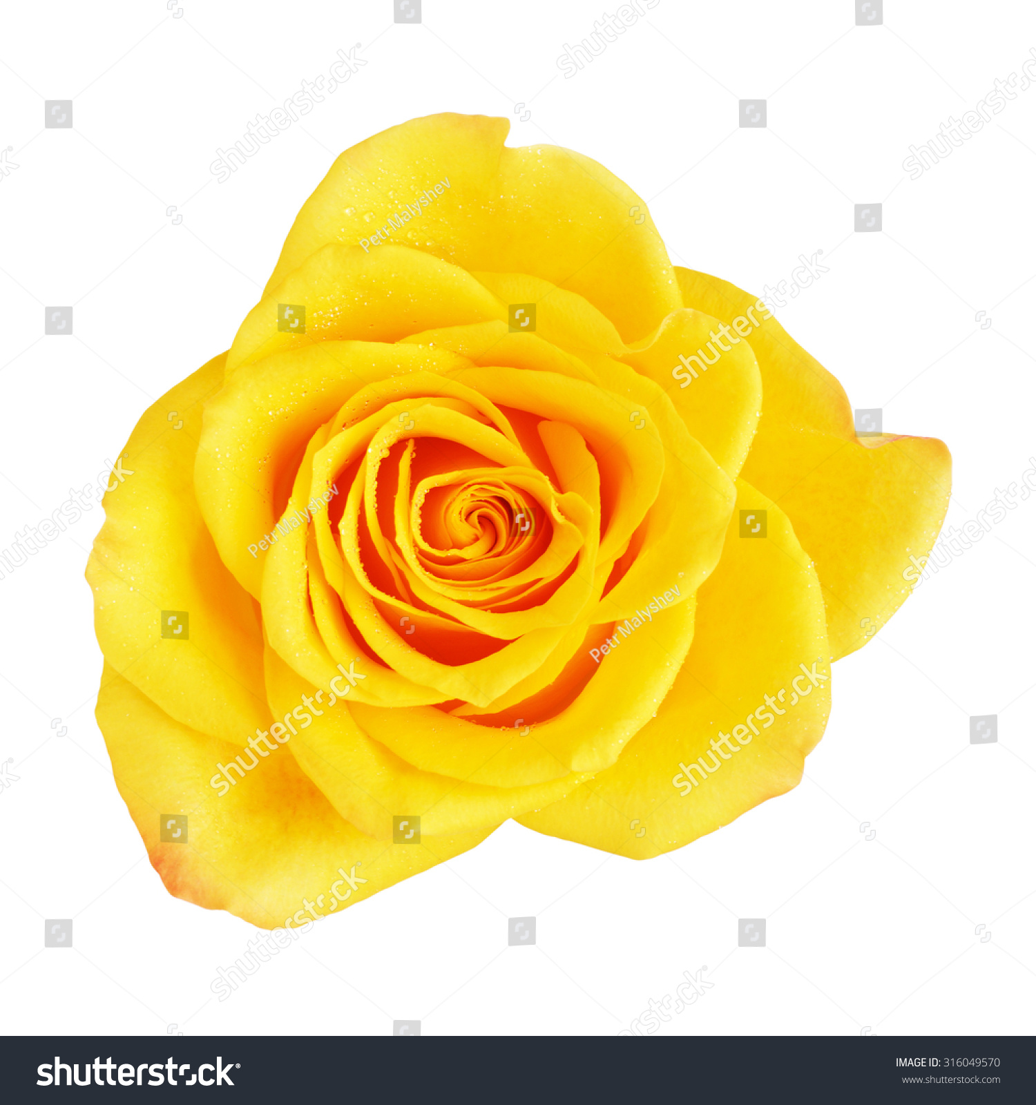 Royalty free single yellow rose flower isolated on 316049570 single yellow rose flower isolated on white top view 316049570 mightylinksfo