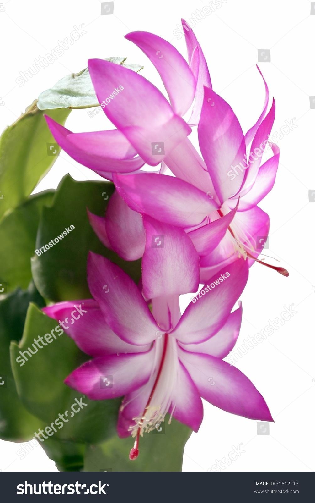 Pink Flowers Of Succulent Plant Ez Canvas