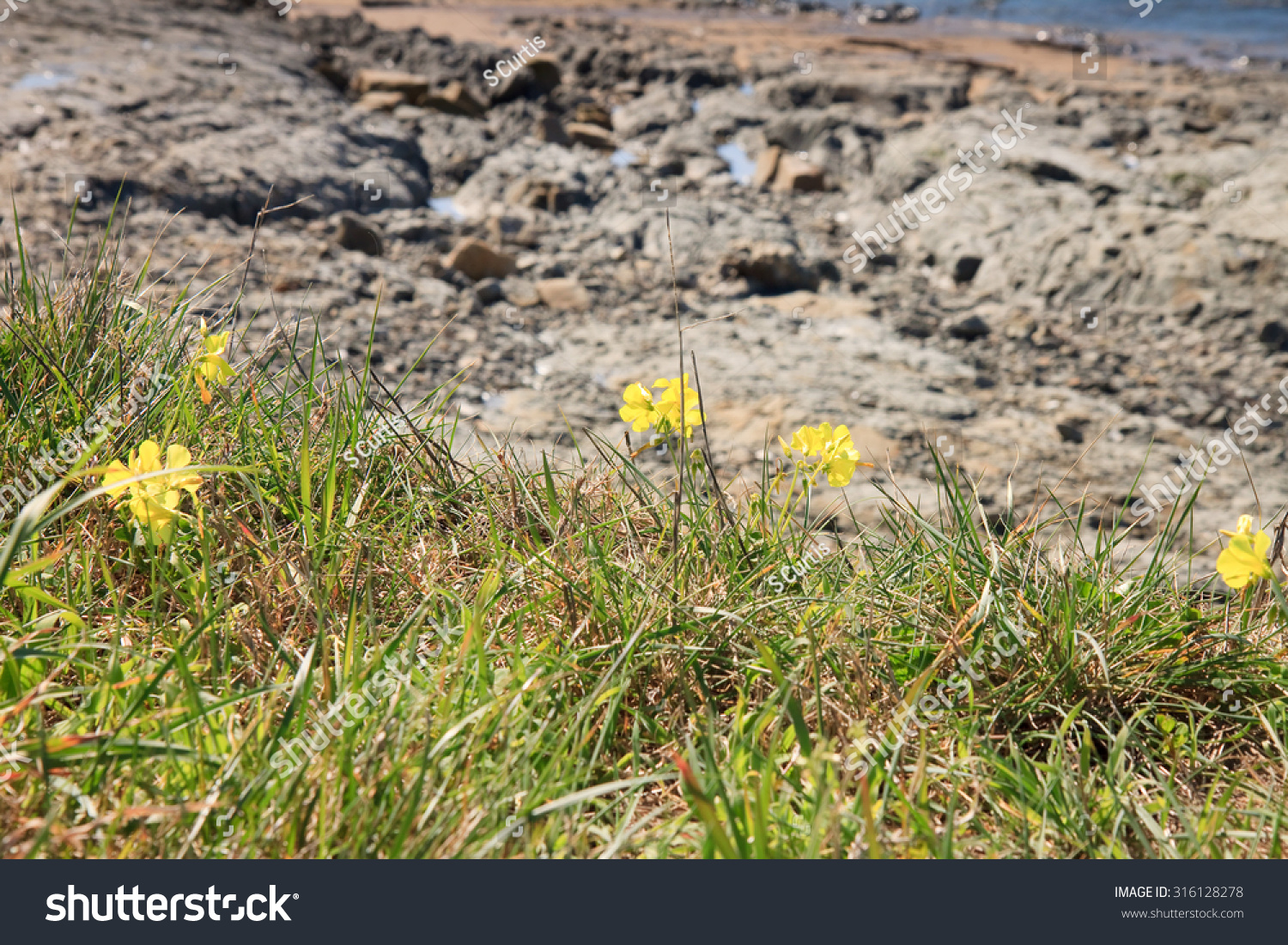 Oxalis Weed Spring Bloom Bright Yellow Stock Photo Edit Now