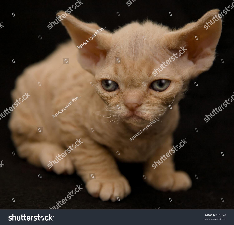 Regal Devon Rex Kitten Stock Shutterstock