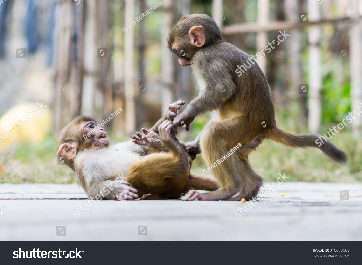 stock-photo-two-baby-macaques-playing-an