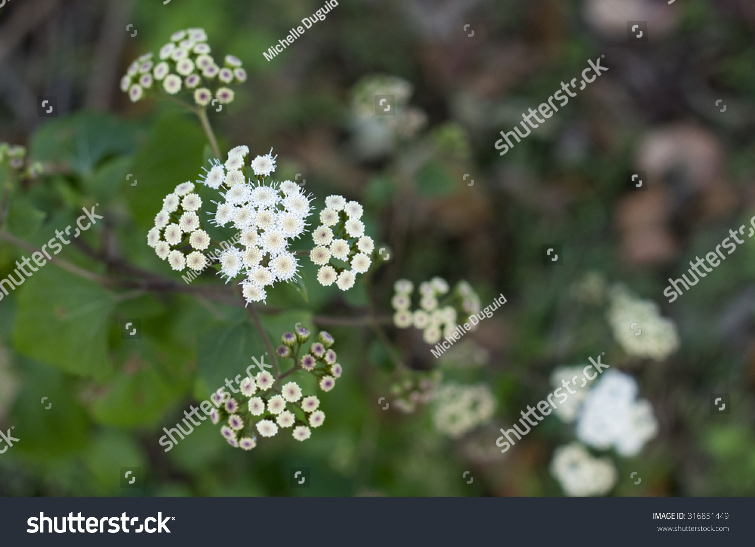 White Tiny Flowers Stock Photo Edit Now 316851449 Shutterstock