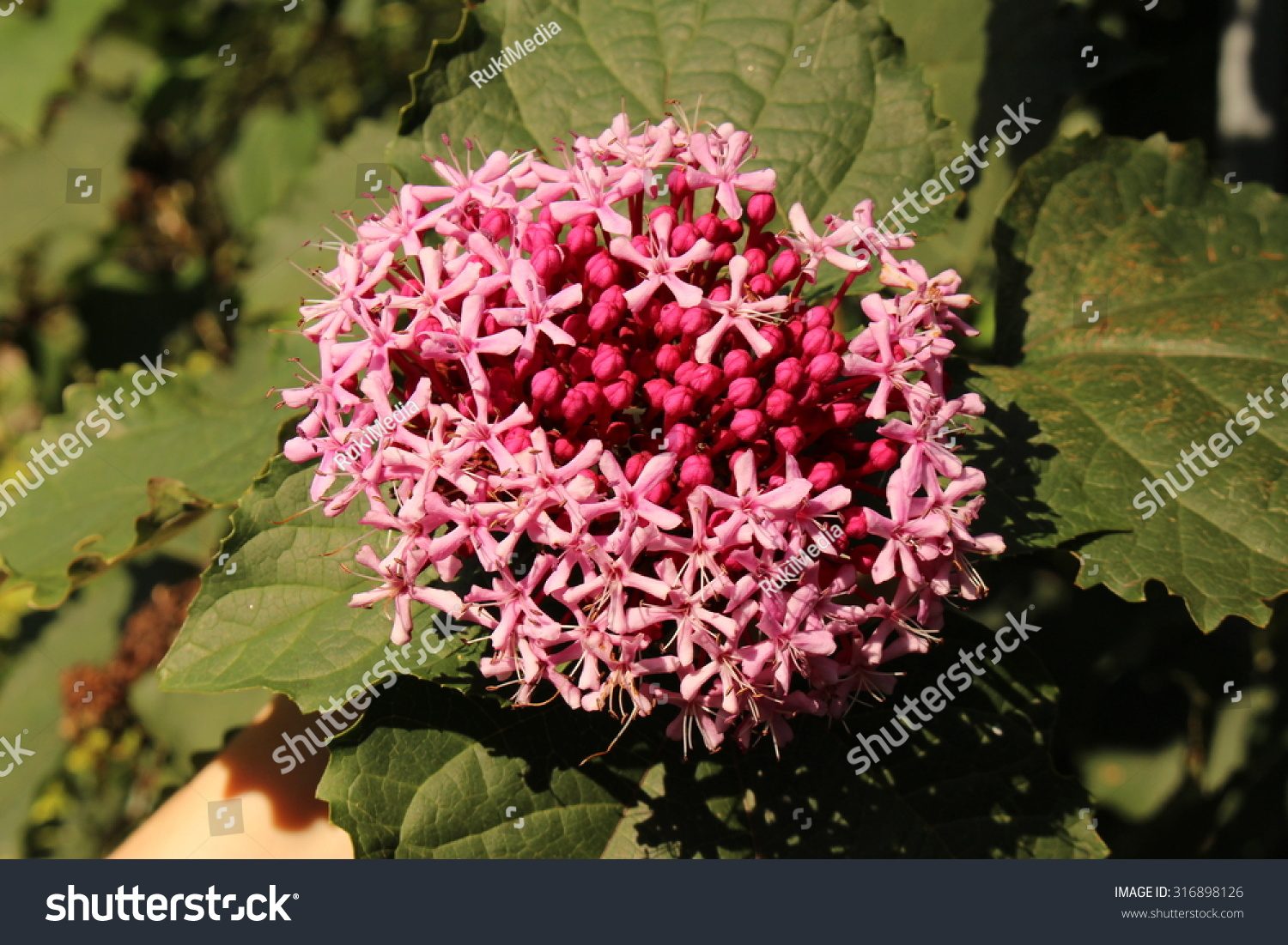 Rose Glory Bower Flowers Buds Or Stock Photo & Image (Royalty-Free ...