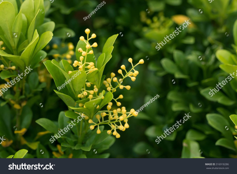 Chinese perfume plants little yellow flowers aglaia stock photo chinese perfume plants little yellow flowersaglaia odorata mightylinksfo