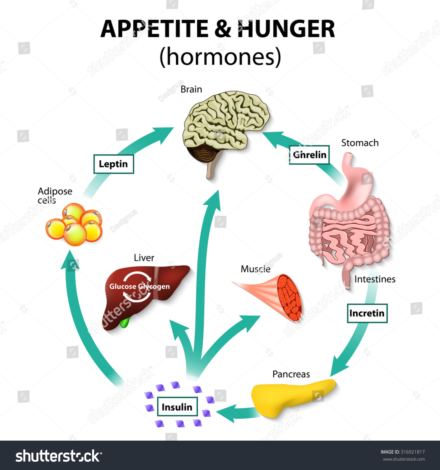 Hormones appetite hunger human endocrine system em ilustrao stock hormones appetite and hunger human endocrine system incretin ghrelin leptin and insulin ccuart Choice Image