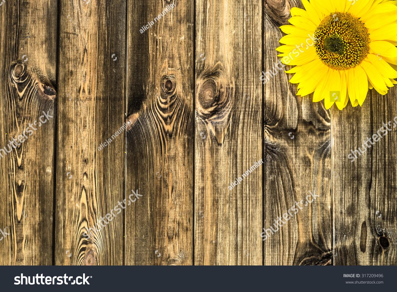 Beautiful sunflowers on rustic wood background stock photo