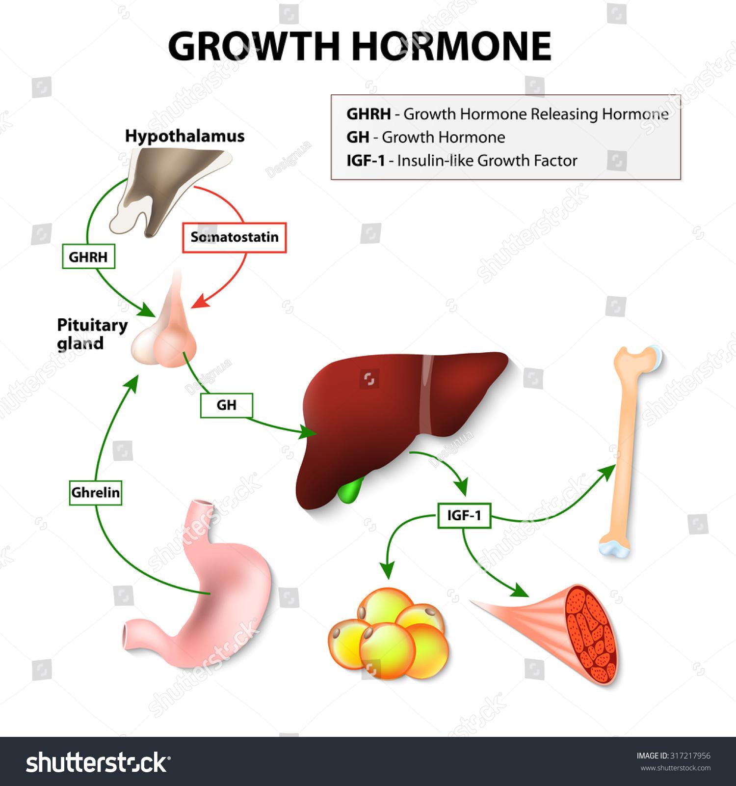 Royalty Free Stock Illustration Of Growth Hormonereleasing Hormone