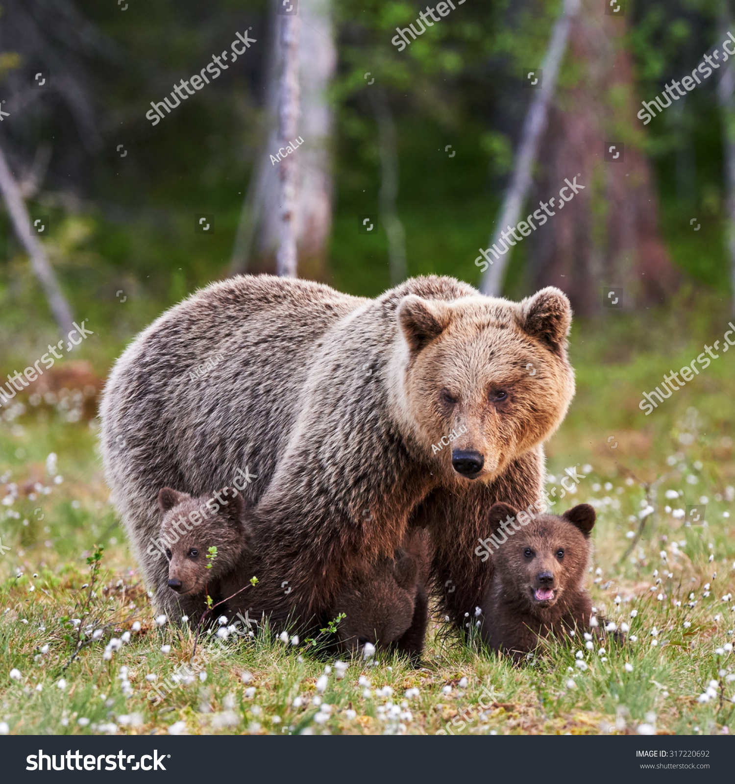 Brown Mother Bear Protecting Her Cubs Stock Photo