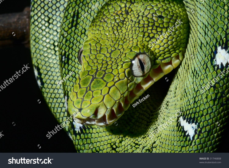 Closeup Portrait Emerald Boa Bolivian Rainforest Stock ...