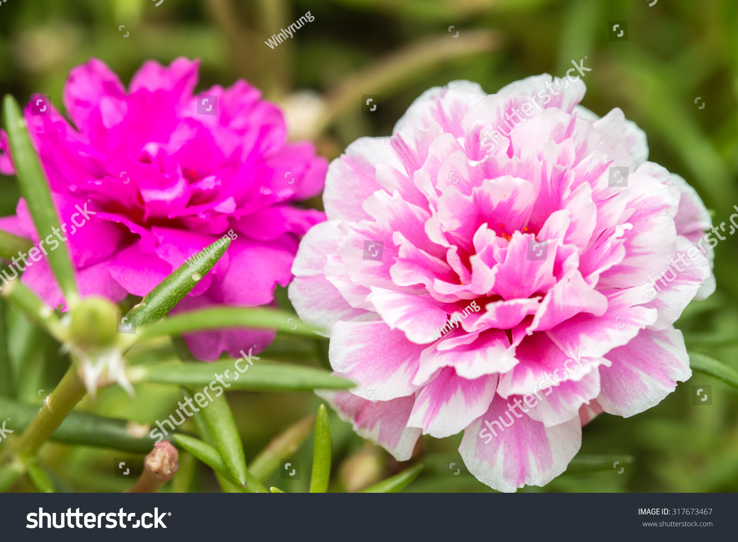 Pretty Little Flowers That Is Known In Many Names As Common Purslane