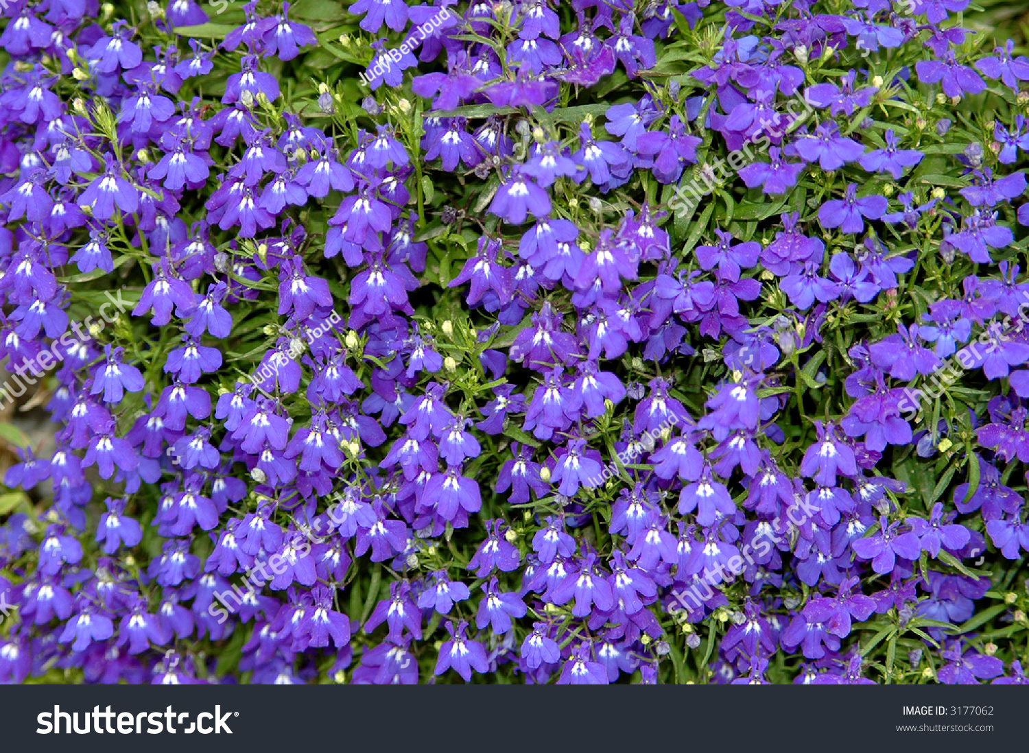 Small Purple Flowers Field Background Stock Photo Edit Now 3177062