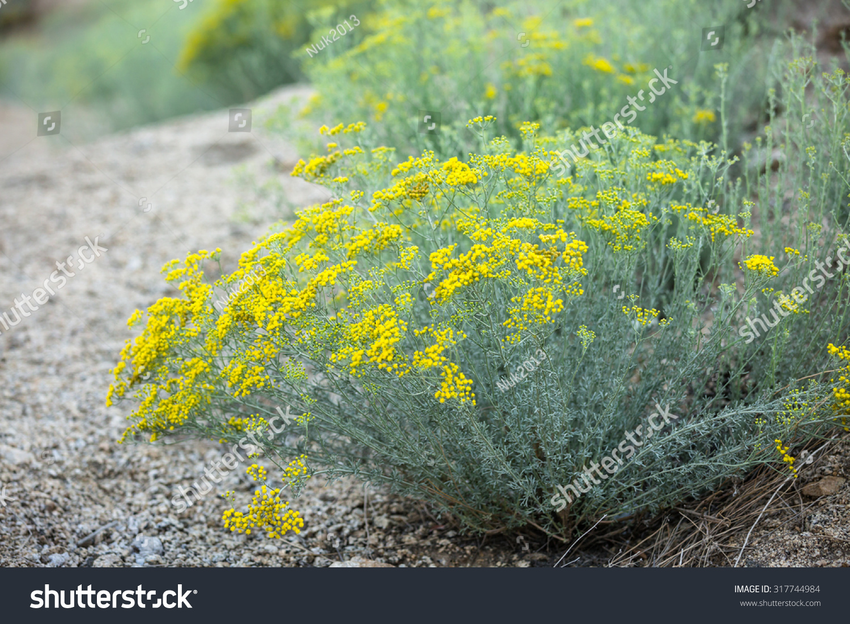 Small Yellow Flowers Plant Desert Stock Photo Edit Now 317744984