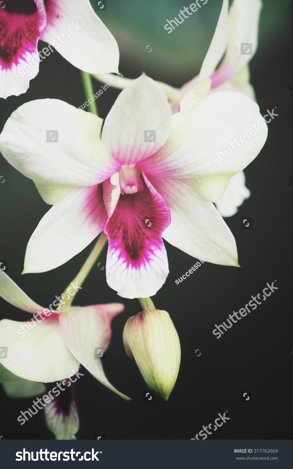 White Orchid Flowers Stock Photo Royalty Free 317762669 Shutterstock