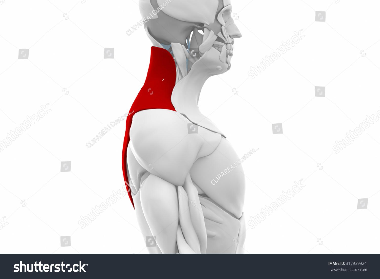 Trapezius Muscles Anatomy Map Stock Illustration 317939924 ...