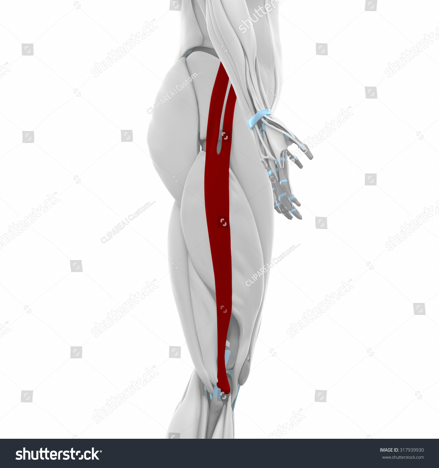 Iliotibial Tract Muscles Anatomy Map Stock Illustration Royalty