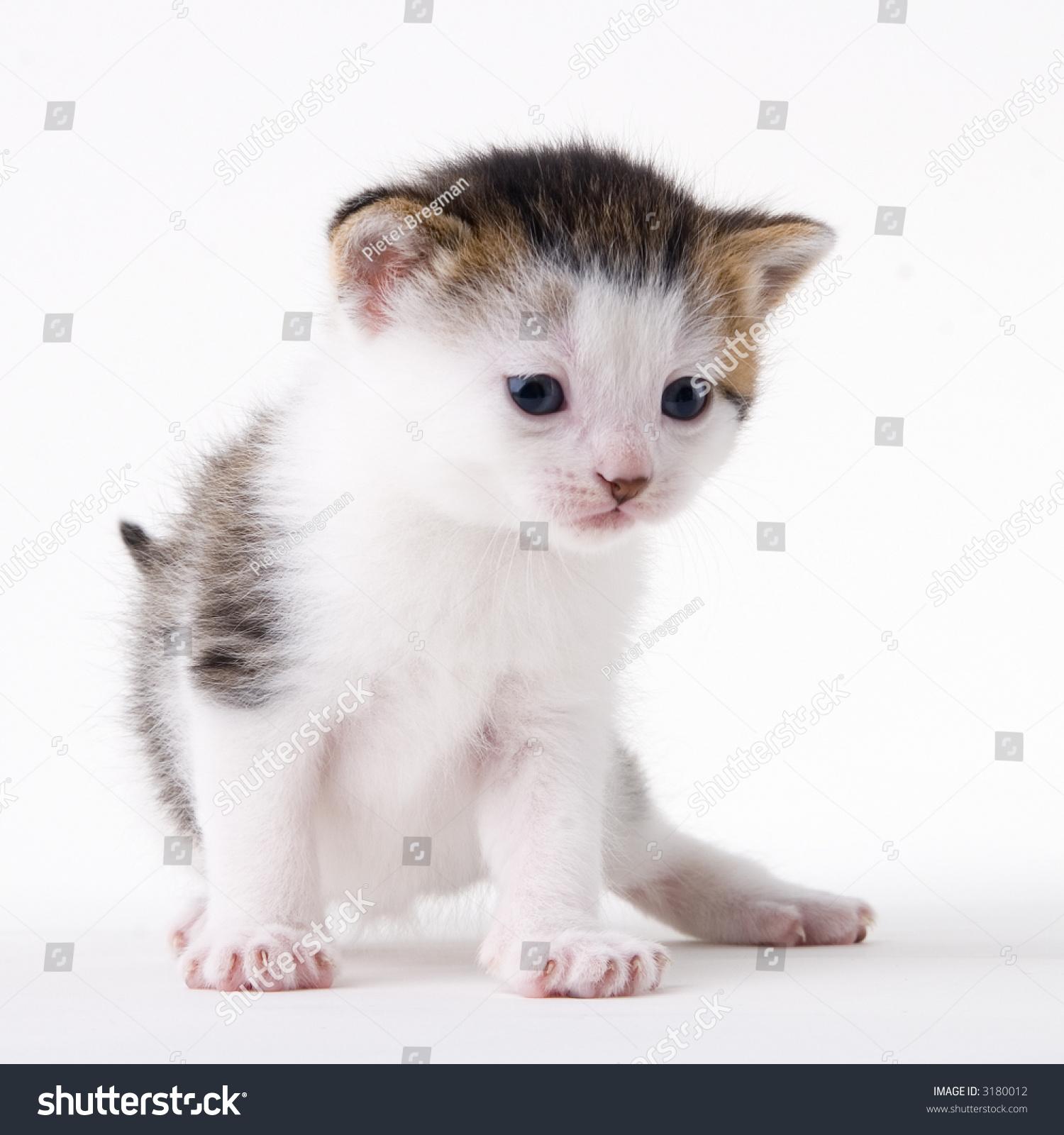 Young Adorable Kitten Posing My Studio Stock