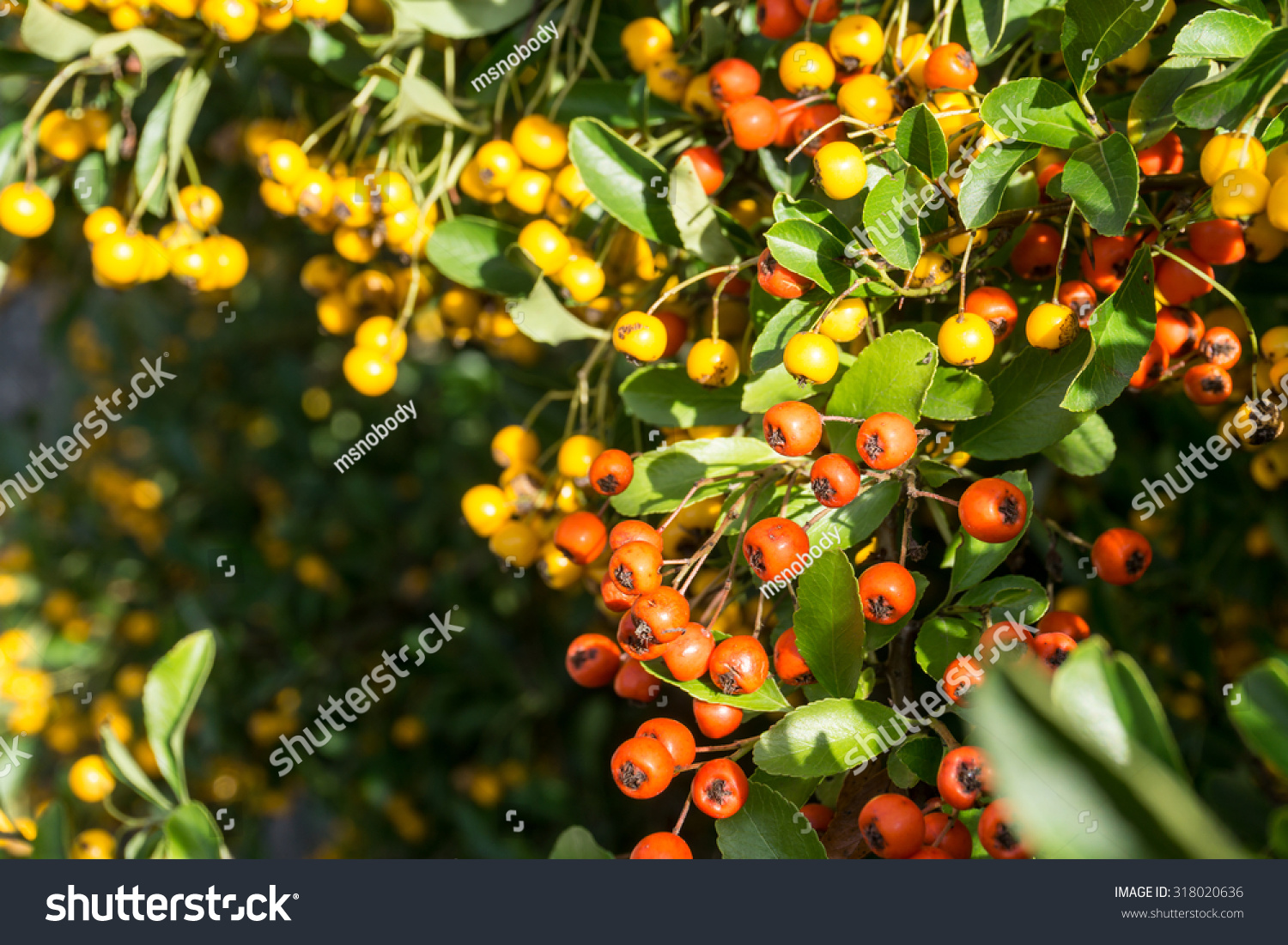 Fire Thorn Plant Pyracantha Coccinea Red Stock Photo