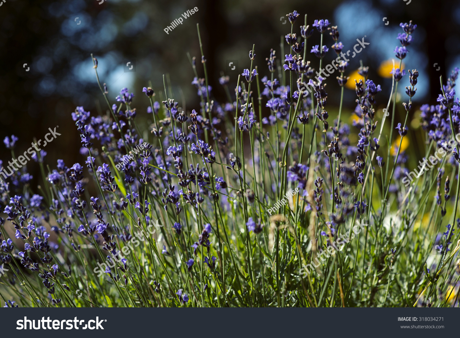 Lavender Plant Purple Flowers Growing Central Stock Photo Royalty