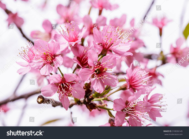 Beautiful pink sakura flower blooming stock photo 318036149 beautiful pink sakura flower blooming dhlflorist Images