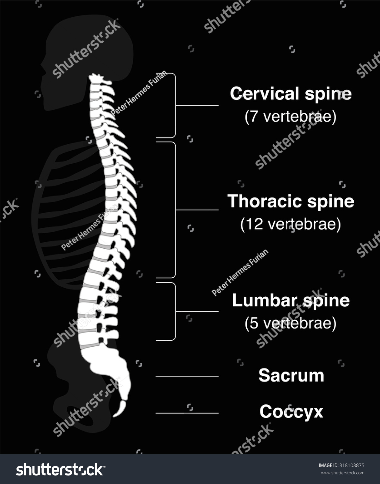 Human Backbone With Names Of The Spine Sections And ...