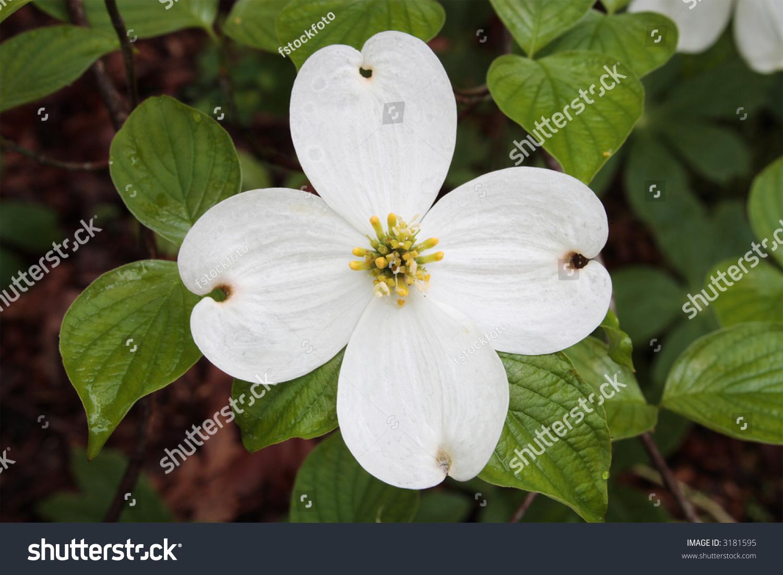 Closeup Detail Flowering Dogwood Blossom Stock Photo Edit Now