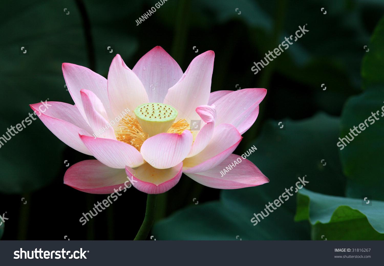 Blooming lotus flower yellow seed head stock photo edit now a blooming lotus flower with yellow seed head izmirmasajfo