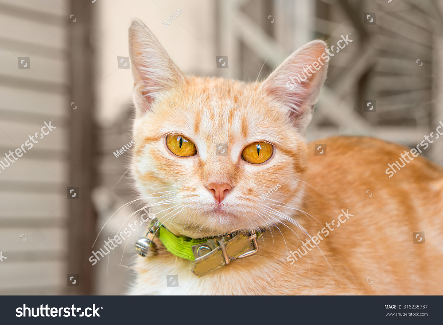 Ginger cat head. Cute orange cat in collar looking at camera. Cute cat outdoors closeup view. Green pet collar.