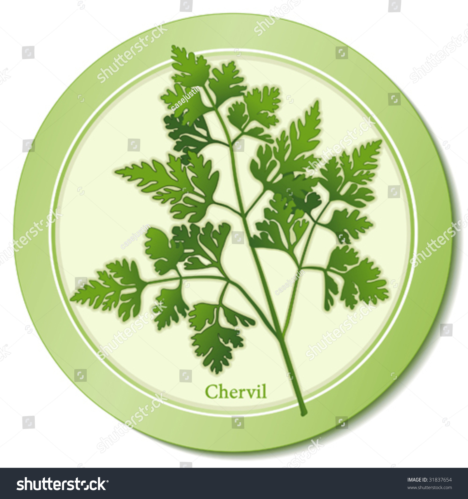 Acacia Stock Photos Royalty Free Images Amp Vectors Shutterstock - Chervil herb delicate lacy leaves anise taste aroma to flavor fish
