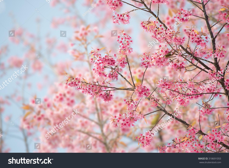 sakura flower cherry blossom beautiful nature stock photo