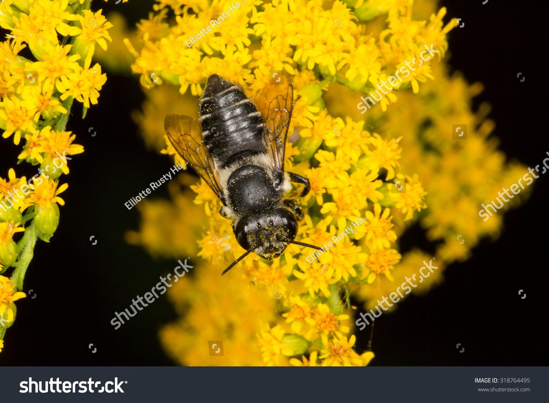 Flat-tailed切叶蚂蚁-生物/野生蜜蜂,动物-海洛创自然快转图片