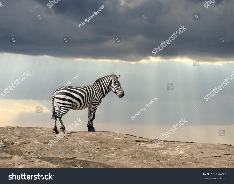 Zebra on stone in Africa, National park of Kenya #318996086