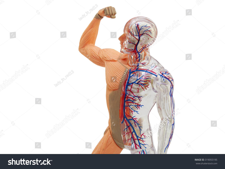 Isolated Human Anatomy Model Isolated Human Stock Photo (Royalty ...
