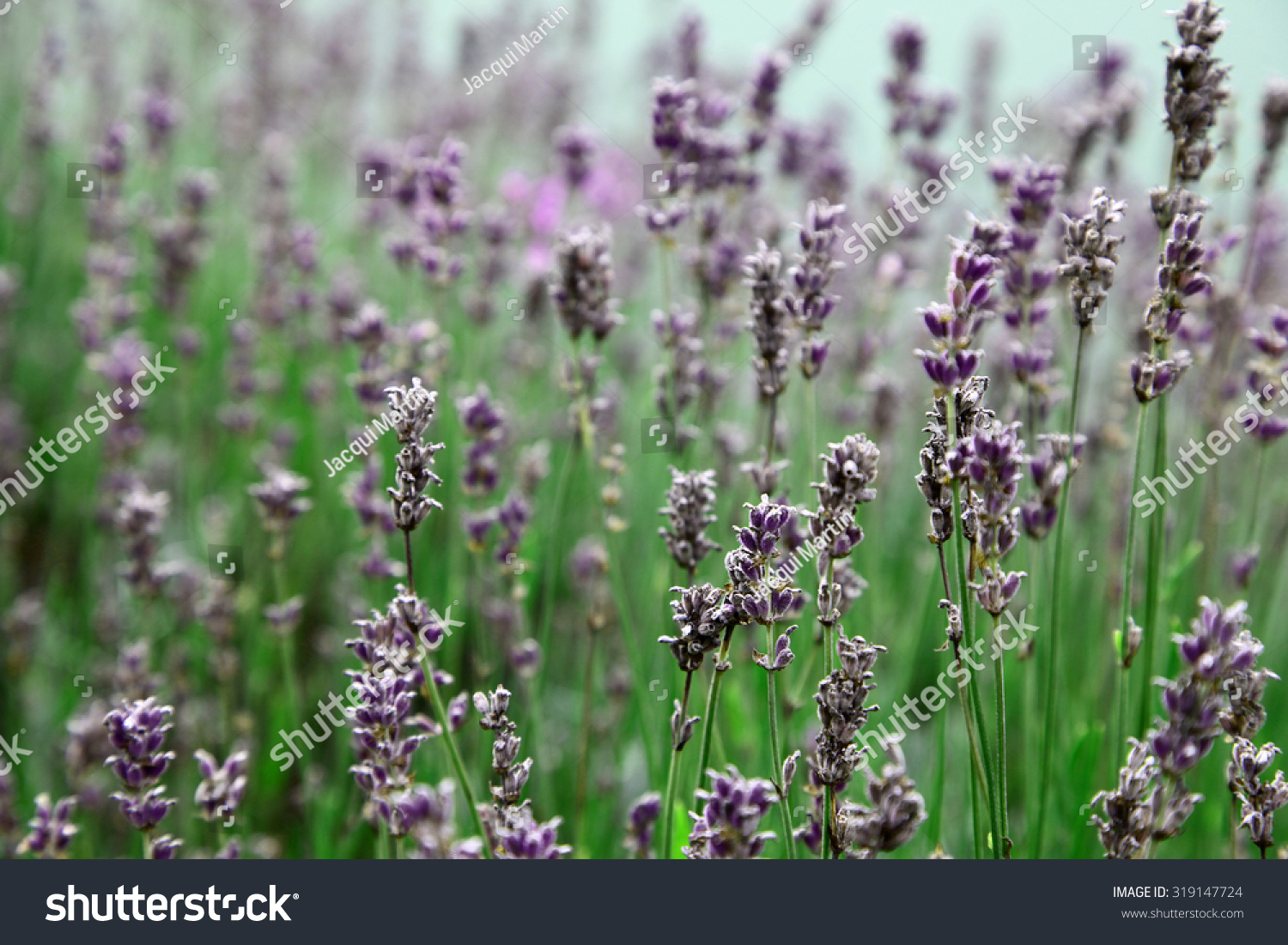Beautiful lavender flowers green leaves stock photo edit now beautiful lavender flowers with green leaves izmirmasajfo