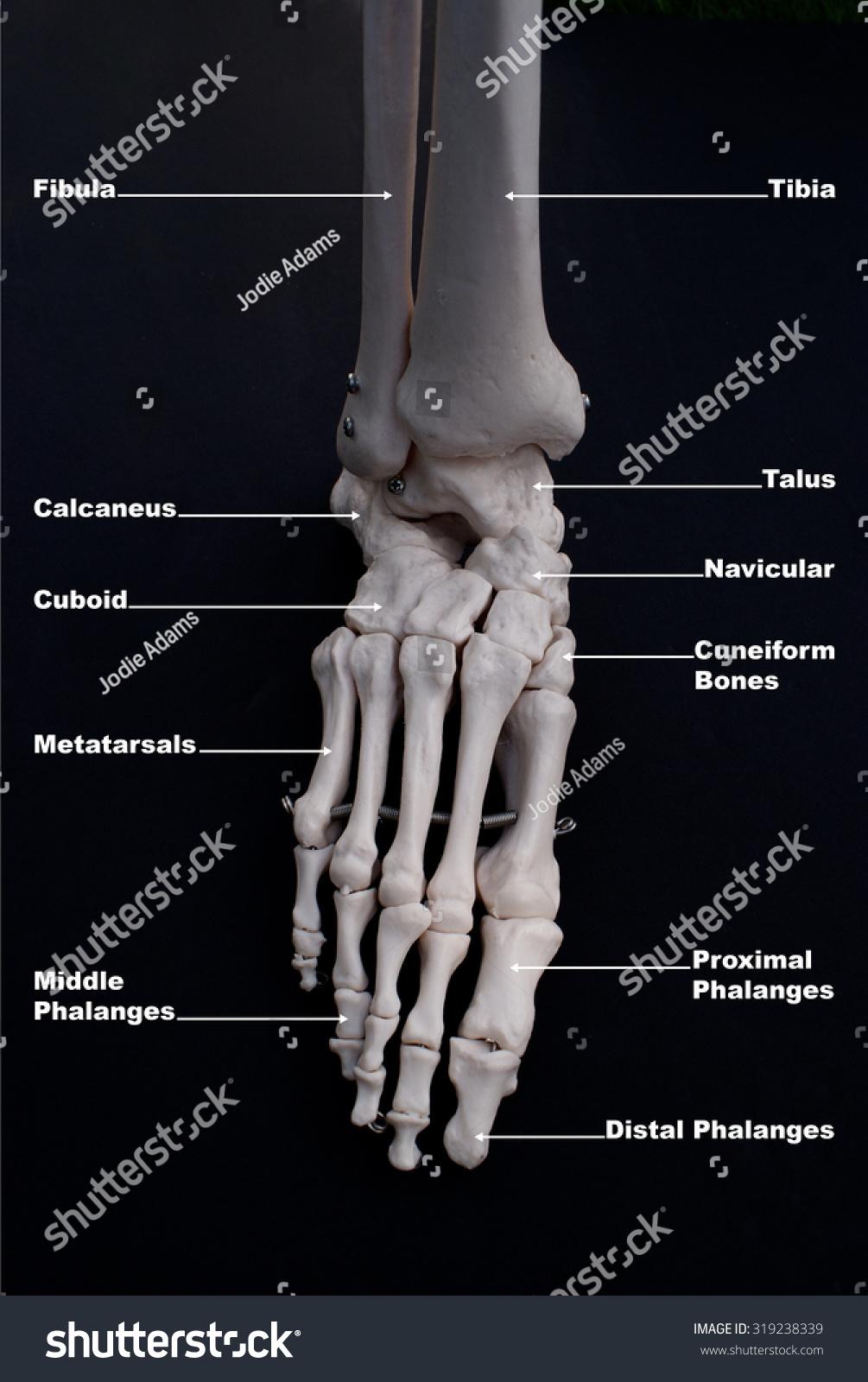 Anterior View Bones Foot Labelled People Stock Image 319238339