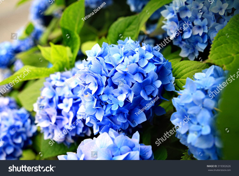 blue garden flowers stock photo 319302626 - shutterstock
