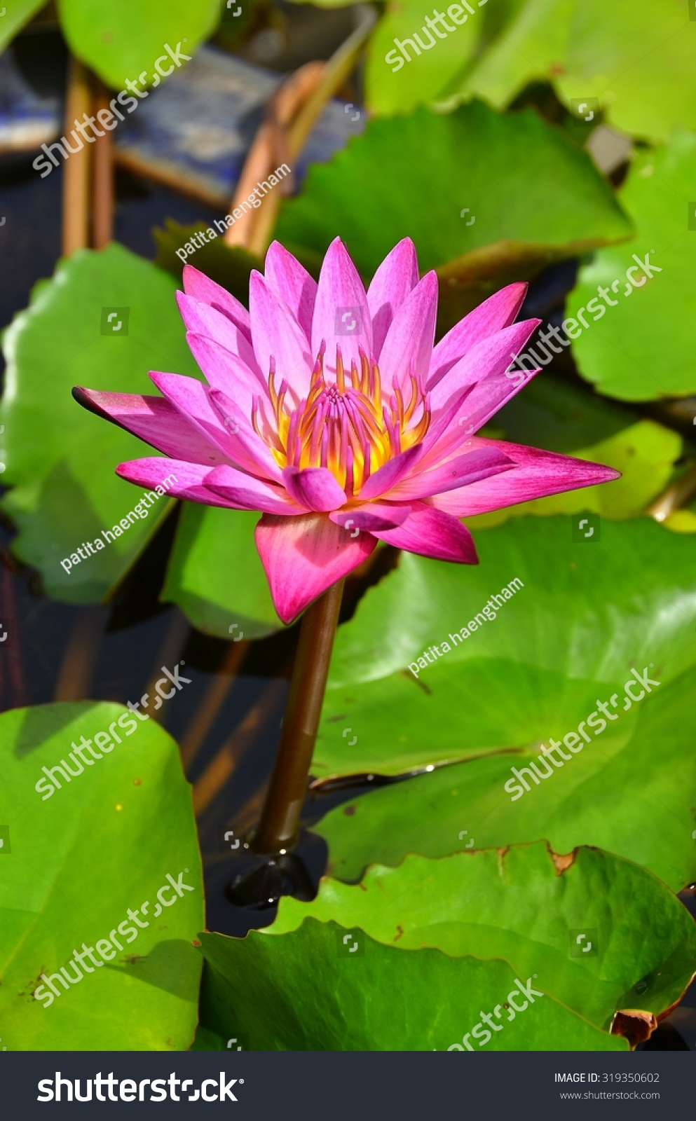 Lotus flowers color wall background nature stock photo 319350602 lotus flowers color wall background nature beauty green water blossom izmirmasajfo Images