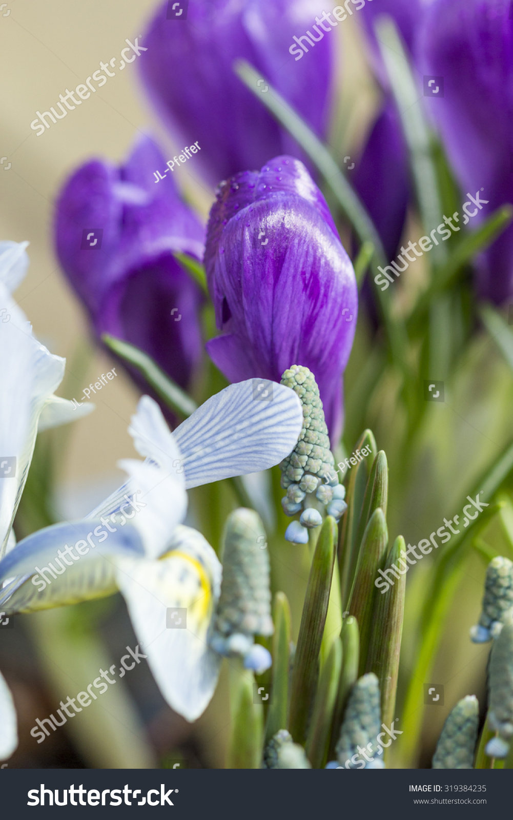 Single Pretty Deep Purple Crocus Flower Stock Photo Royalty Free