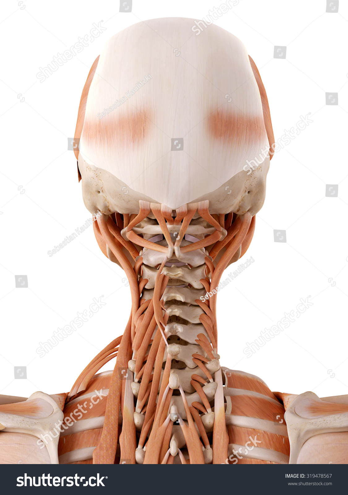 Medically Accurate Anatomy Illustration Neck Muscles Stock
