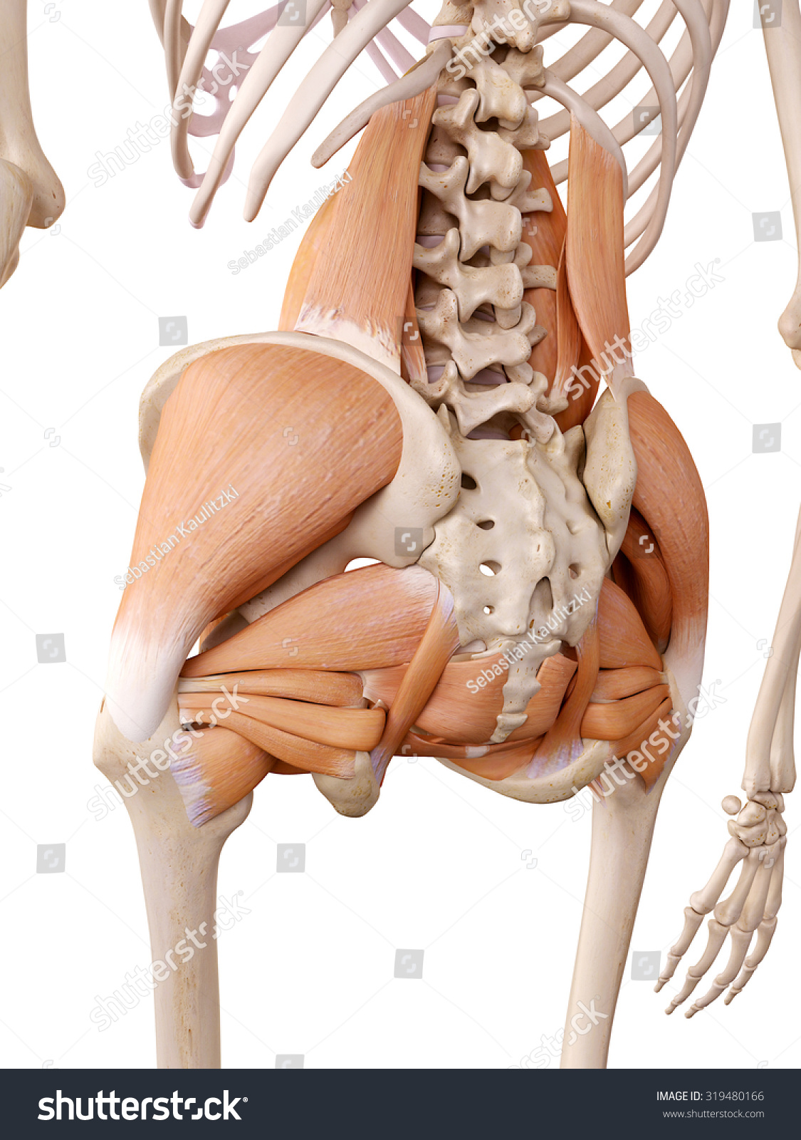 Medically Accurate Anatomy Illustration Hip Muscles Stock ...
