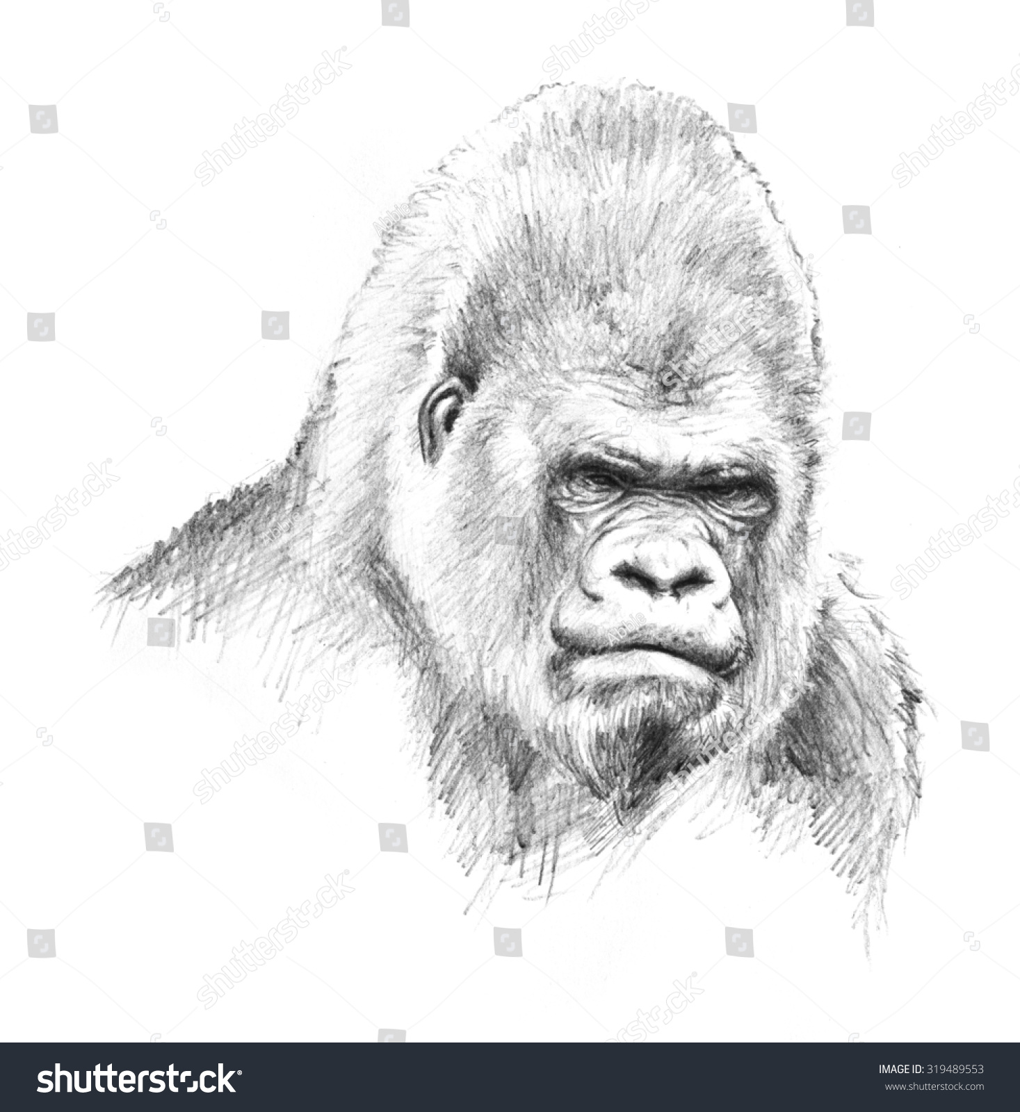Gorilla Face Line Drawing : Gorilla head illustration pencil sketch big stock