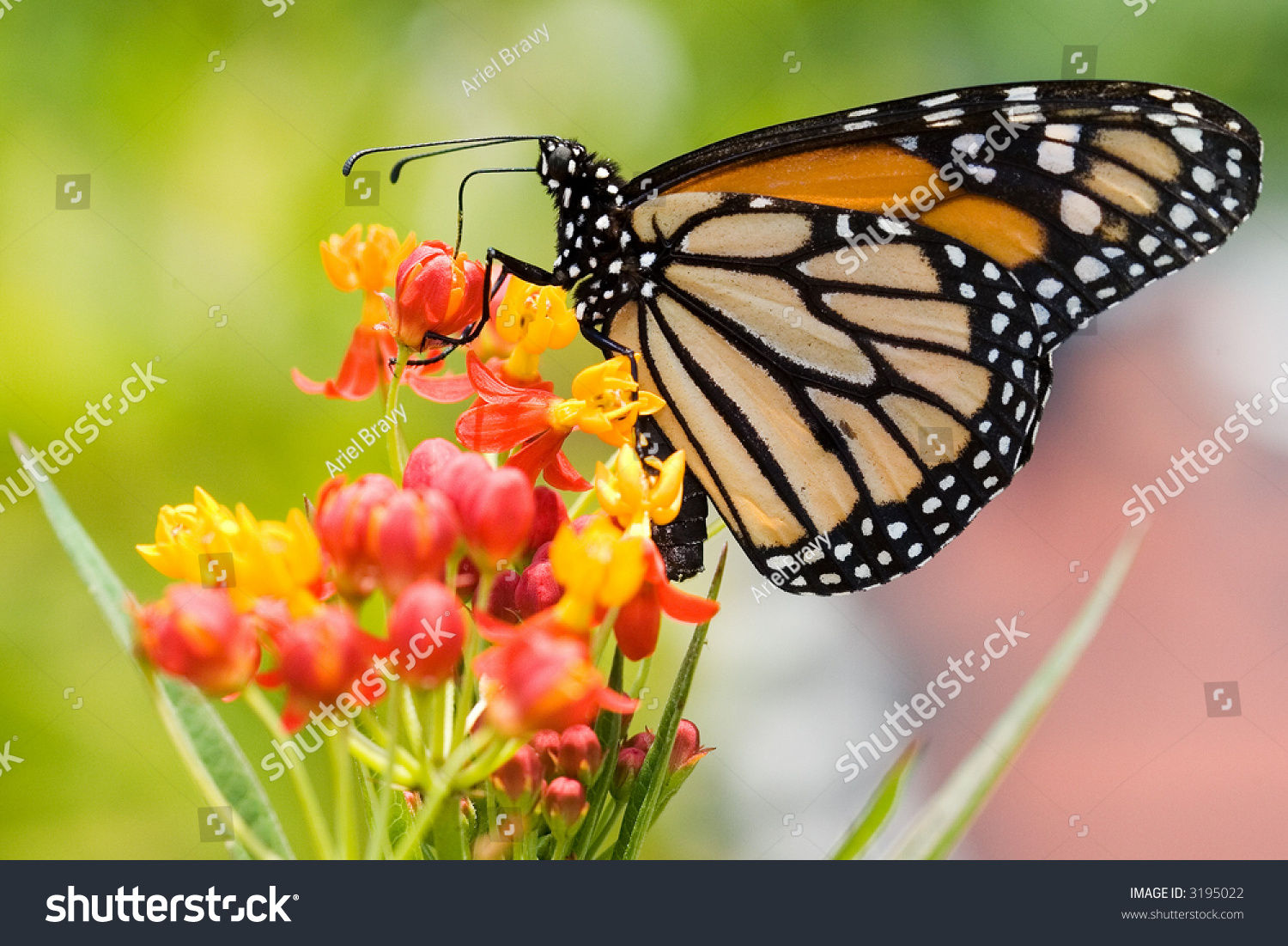Monarch Butterfly Resting On A Flower Stock Photo 3195022