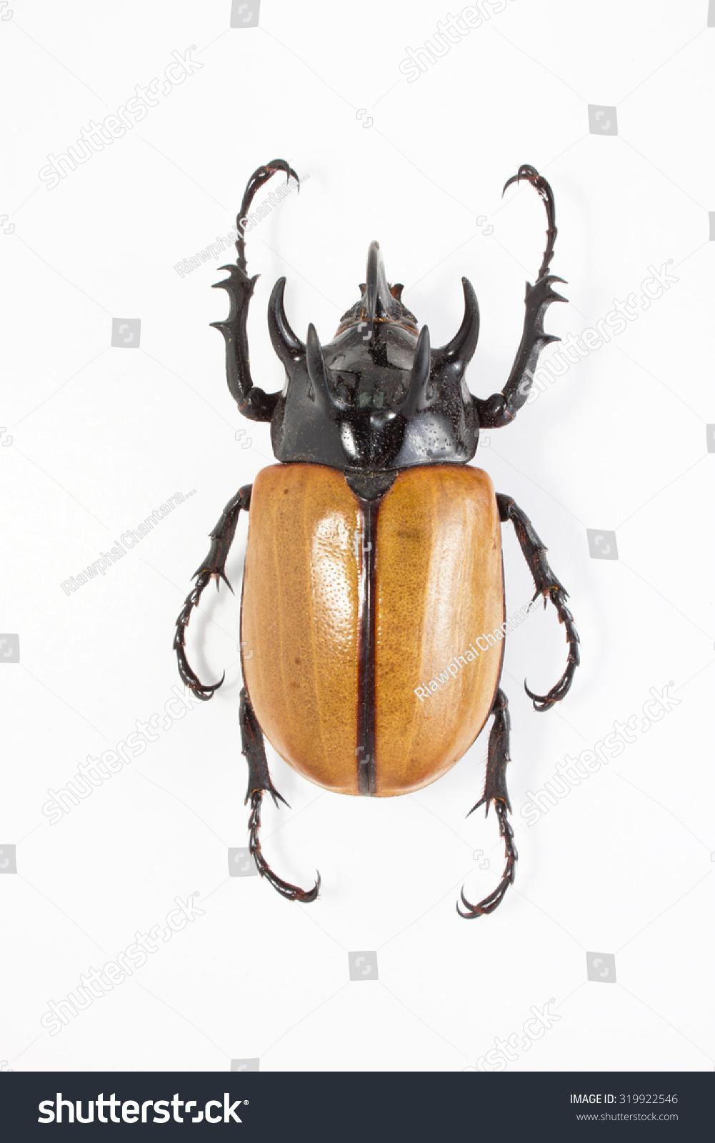 Male Rhinoceros Beetle Stock Photo (Edit Now) 319922546 - Shutterstock