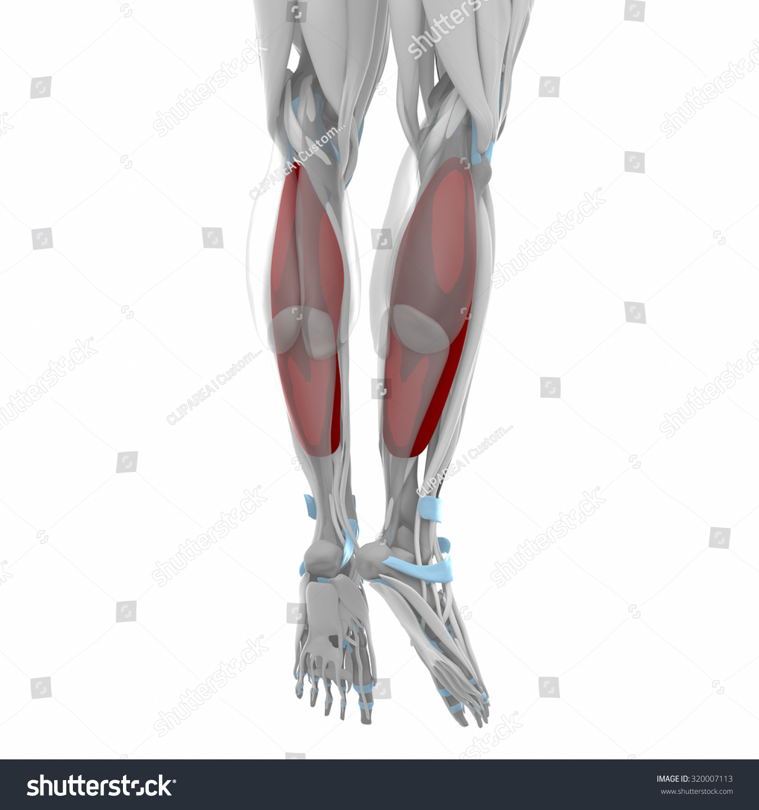 Soleus Muscles Anatomy Map Stock Illustration 320007113 - Shutterstock