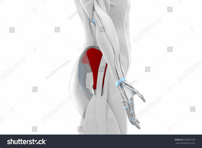 Gluteus Minimus Muscles Anatomy Map Stock Illustration 320007158