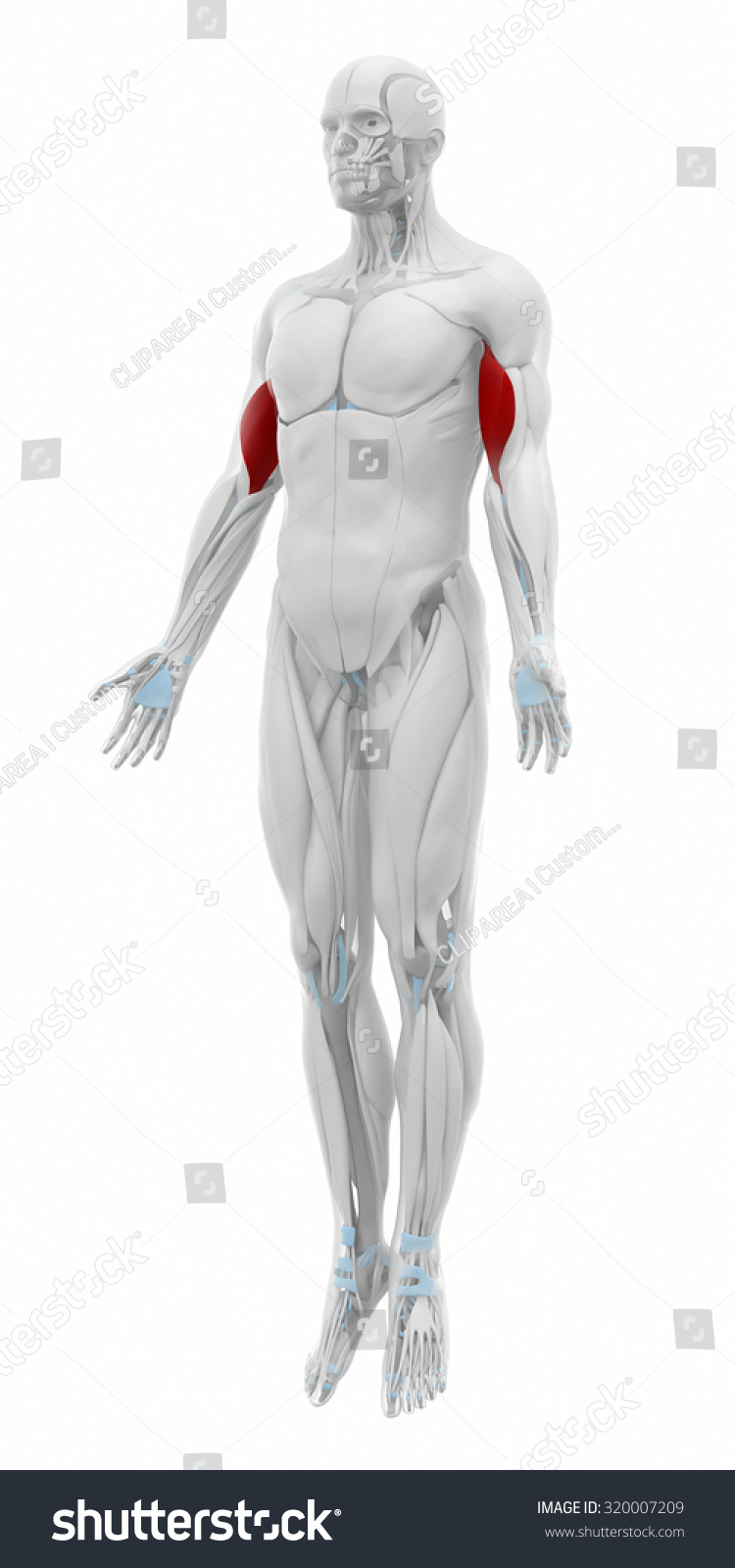 Biceps Brachii Muscles Anatomy Map Stock Illustration 320007209 ...