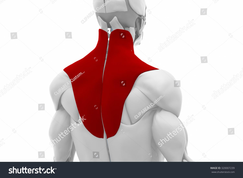 Trapezius Muscles Anatomy Map Stock Illustration 320007239