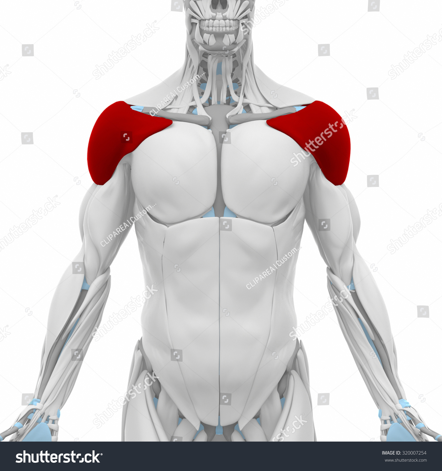Deltoid Muscles Anatomy Map Stock Illustration 320007254 Shutterstock