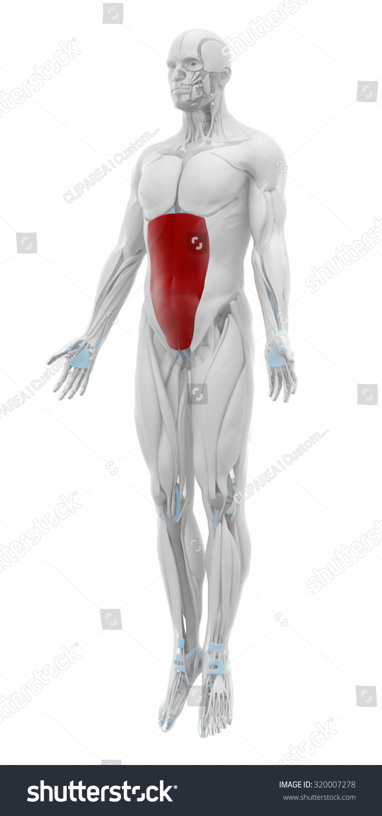 External Abdominal Oblique Muscles Anatomy Map Stock Illustration