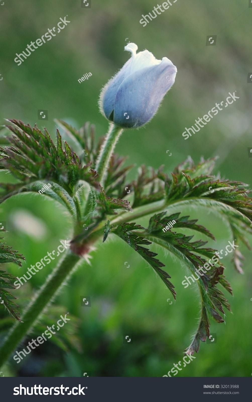 Pulsatilla alpina, alpine pasqueflower #32013988